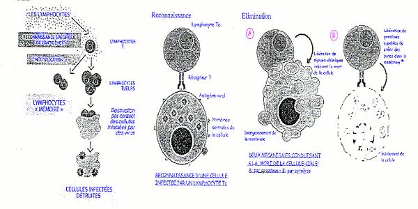 cellule infectes