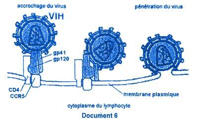 cytoplasme lymphocyte